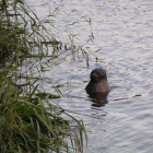 Eine verirrte Kegelrobbe  im Elbe-Lübeck-Kanal